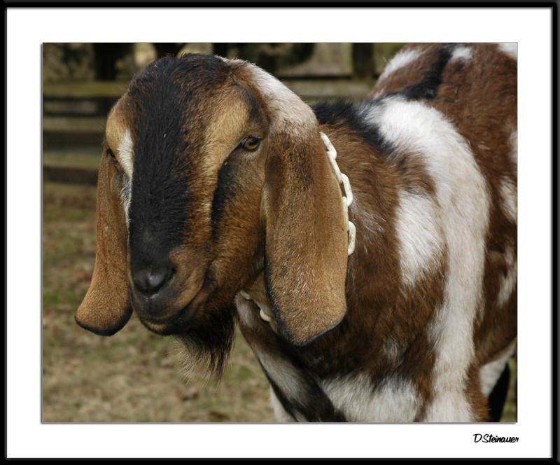 ds20041226_0299awF Goat 2.jpg