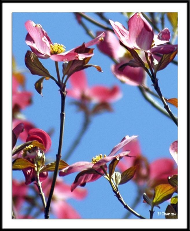ds20050501_0027a3wF Blossoms.jpg
