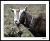 ds20041226_0257awF Goat 4.jpg