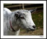 ds20041226_0282awF Goat 1.jpg