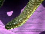 Northern Water Snake (Nerodia sipedon sipedon)