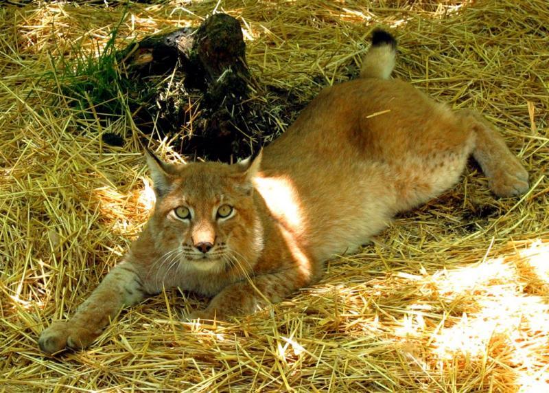 Russian Lynx