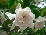 Shrine Gardenia