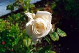 Rosin hvita í garðinum mínum - in my garden