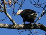 Bald Eagle perched with Fish