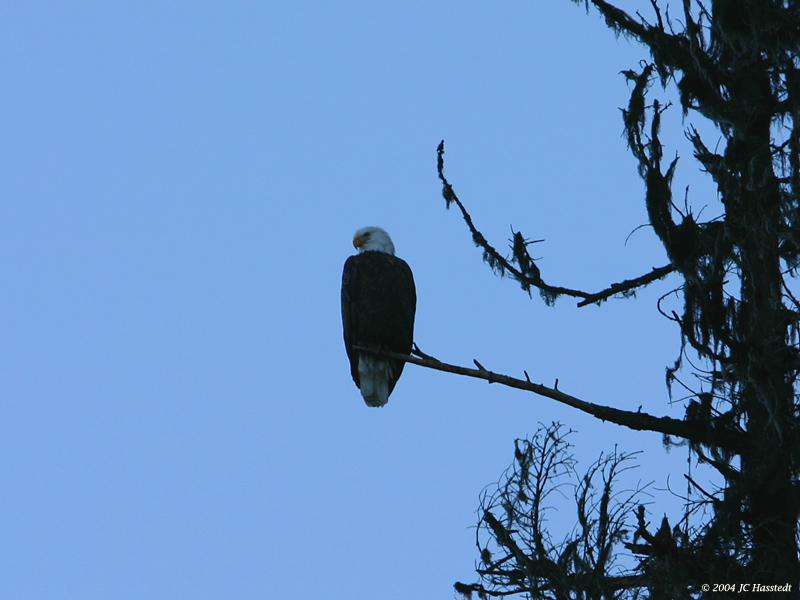 Bald Eagle Solitude