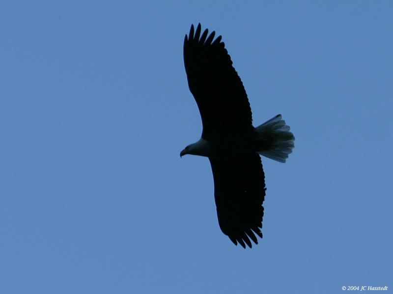 Bald Eagle Soar 2