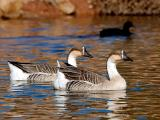 Male Geese