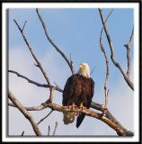 The Nesting Eagles of St. Paul