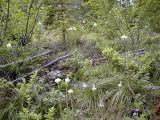 Beargrass on the climb to Fawn Ridge - Ron Nicholl photo