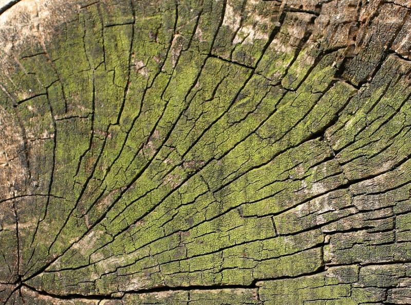 Crab Apple Tree Knot WSVG