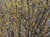 Budding Dogwood Tree
