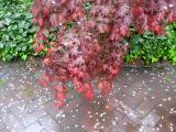 Red Maple & Ivy