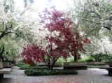 Red Maple & Crab Apple Trees
