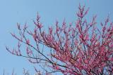 Cercis or Red Bud Tree