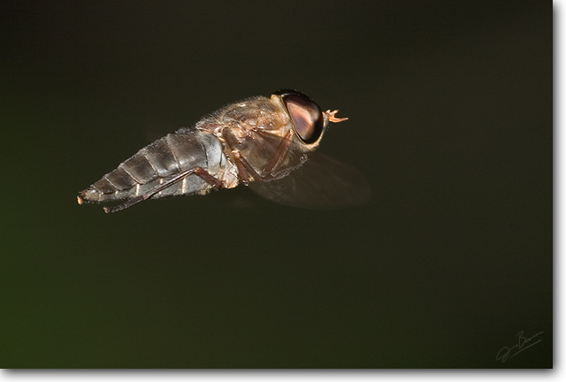 <!-- CRW_5152.jpg -->Horse Fly