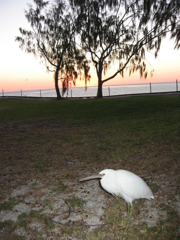 White morph reef egret, sunset.
