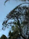 Resident flying foxes in the botanical gardens.