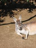 Kangaroo at Taronga Zoo.