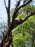 Energetic koala at Taronga Zoo.