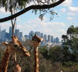 Giraffe's view from Taronga Zoo.