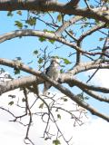 Wild Kookaburra at Taronga Zoo.