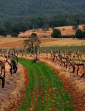 Grey kangaroo eating grass at Audrey Wilkinson winery.