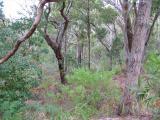 Gum bush above Port Stephens.