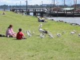 Pelican at Port Macquarie.