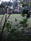 Wallaby on the hotel grounds, Coffs harbour.