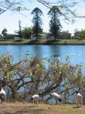 Ibis, the river and hoop pines, Woodburn.