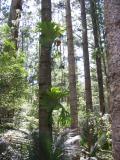 Staghorns on pine trees, central station, Fraser Island.
