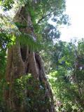 Strangler fig, Fraser Island.