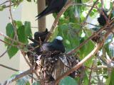 Noddys on the nest.