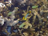 Butteryfly fish, Heron Island.