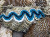 Blue giant clam.