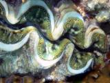Cool green giant clam.