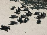 Noddy's sunning on Heron Island.