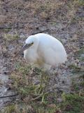 White morph reef egret.