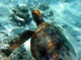 Green sea turtle, Heron Island.