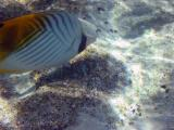 Fish, Heron Island.