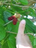 Very large mulberries.