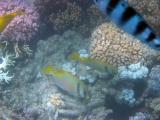Coral and fish, Whitsunday Islands.