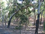 Black butt eucalyptus trees.