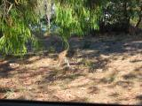 Another wallaby.