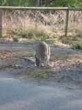 Rock wallaby, Townsville.
