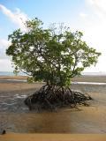 Mangrove at low tide.