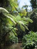 A tree fern at Milla Milla falls.