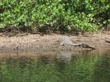 Large male Crocodile basking, wild hibiscus growing along bank.