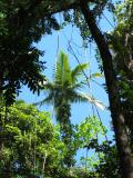 Palm in the Daintree Rainforest.